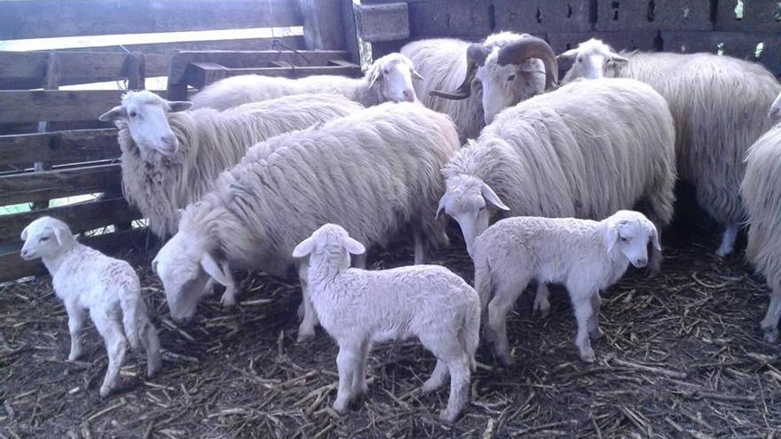 En la imagen, ovejas y corderos de raza palmera.