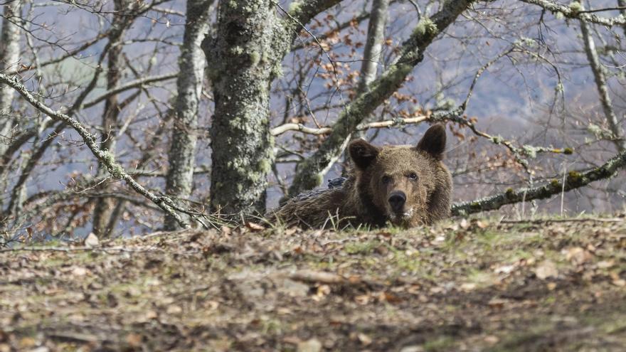 El oso Beato vuelve a su medio natural en Liébana con un localizador para seguir su adaptación
