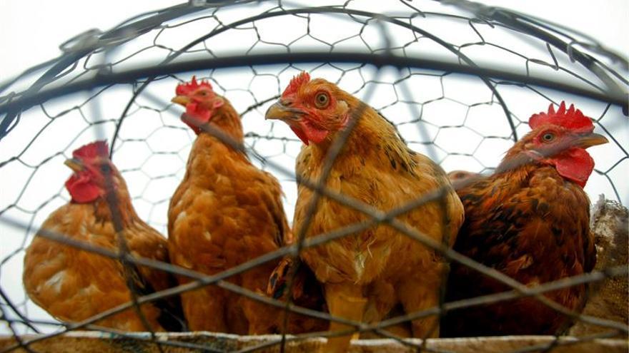 La distribución francesa dejará de comprar huevos de gallinas en jaulas