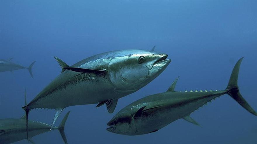 El futuro de la pesca del atún rojo se juega a partir de hoy en Marrakech