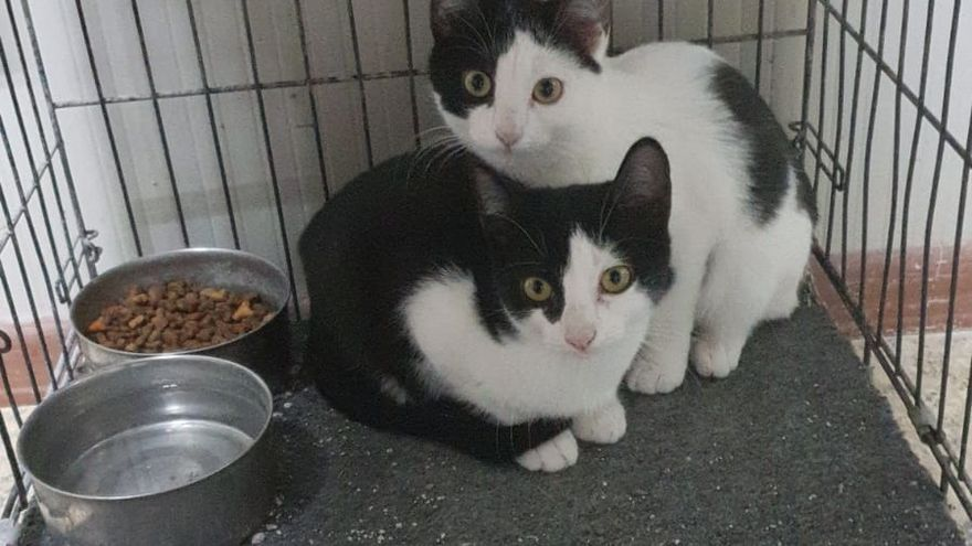 Gatitos en adopción en la SPAP