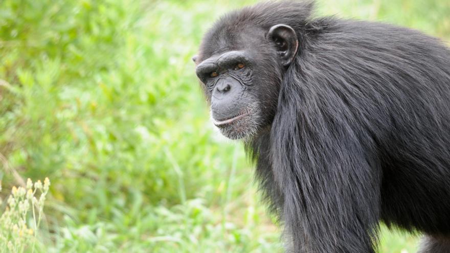 Primates rescatados de la explotación viven en centros de recuperación como la Fundació Mona