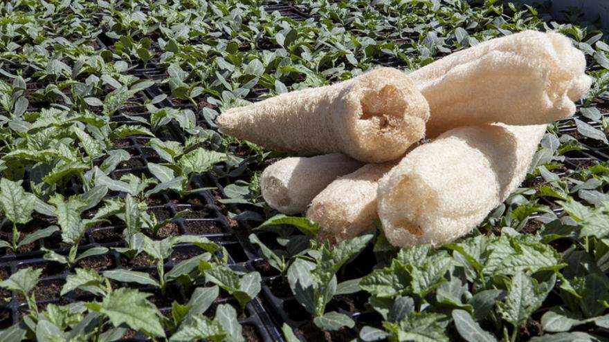 Imagen de las esponjas que cultivan en la empresa gallega. / Ibérica de Espojas Vegetales