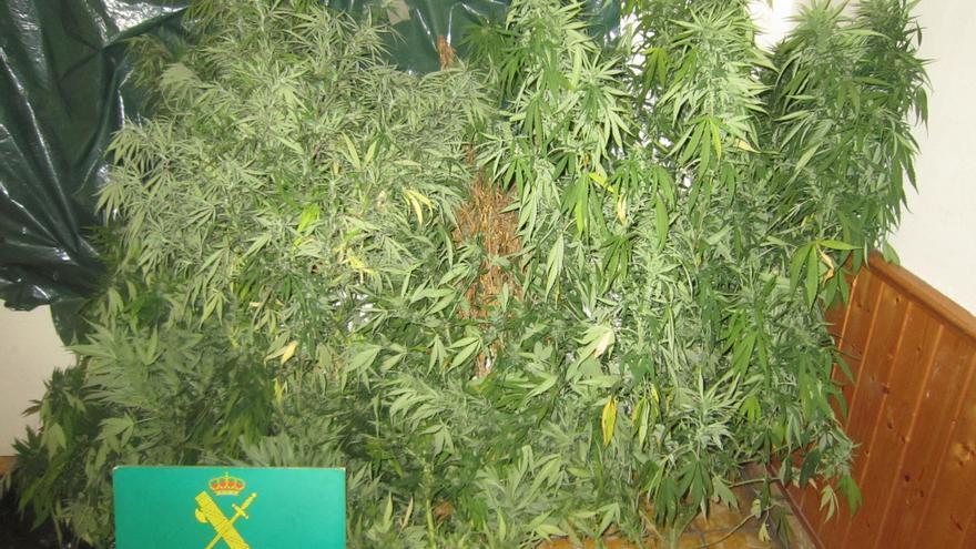 En la imagen, las plantas de marihuana incautadas por la Guardia Civil. Foto: GUARDIA CIVIL.