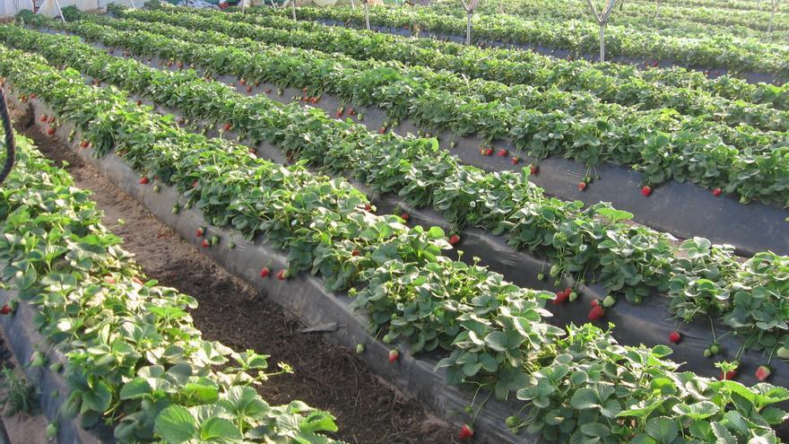 El 90 por ciento de la fresa española se comercializa desde Huelva.
