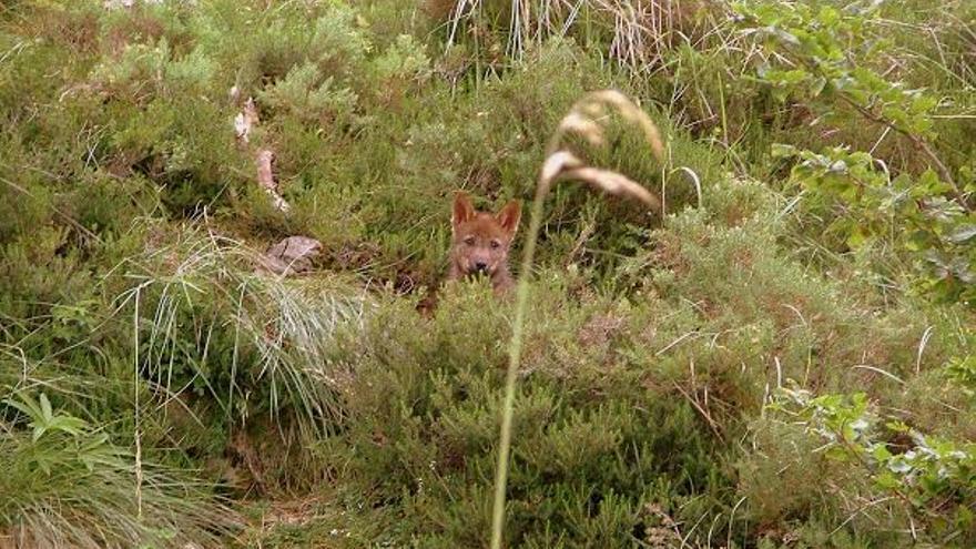 si los cazadores van al jabalí y se encuentran con un lobo, podrán abatirlo.