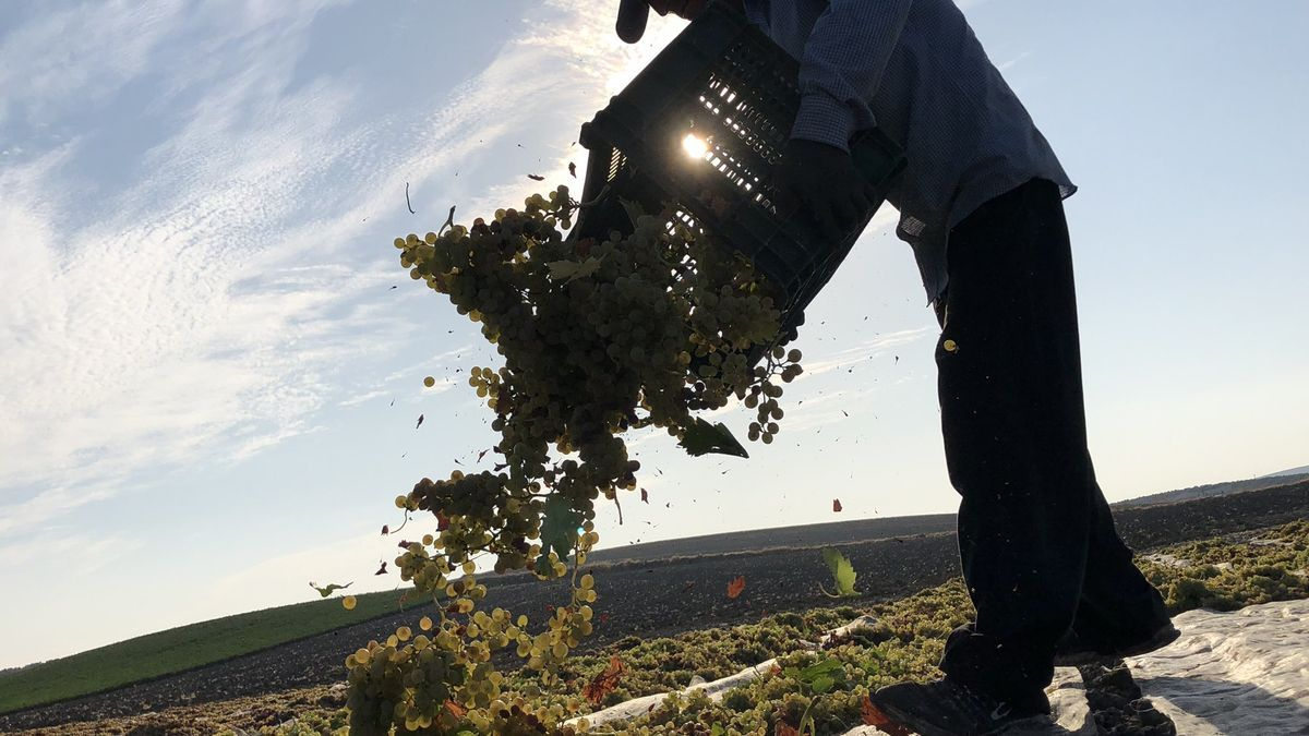 Un jornalero extiende la uva sobre una pasera