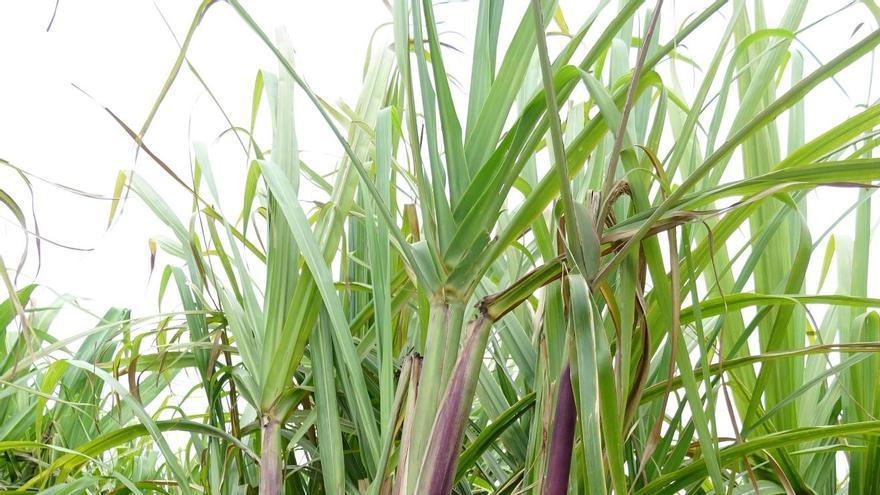 Cultivo de caña de azúcar en el municipio de Barlovento. Foto: J.M.H.