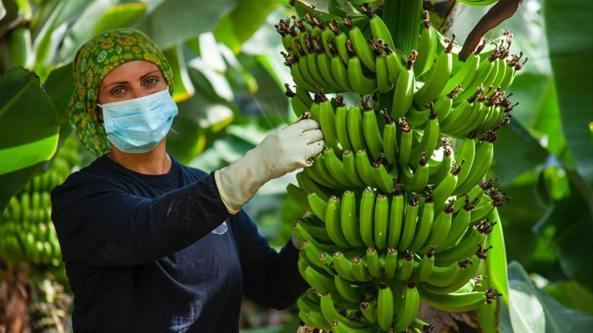 Recolección de plátanos durante la pandemia.