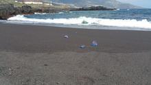 Medusas 'carabela portuguesa' este domingo en Los Cancajos.