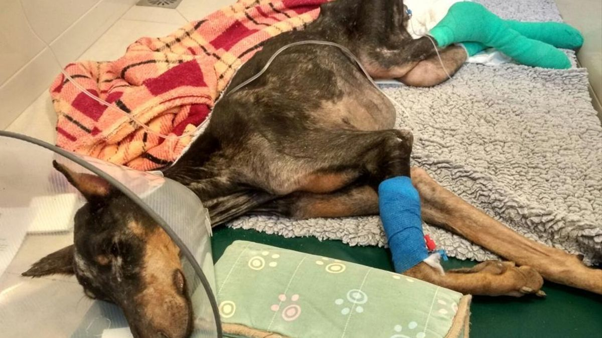 La hembra de dobermann rescatada en Catarroja, tras las primeras intervenciones veterinarias.