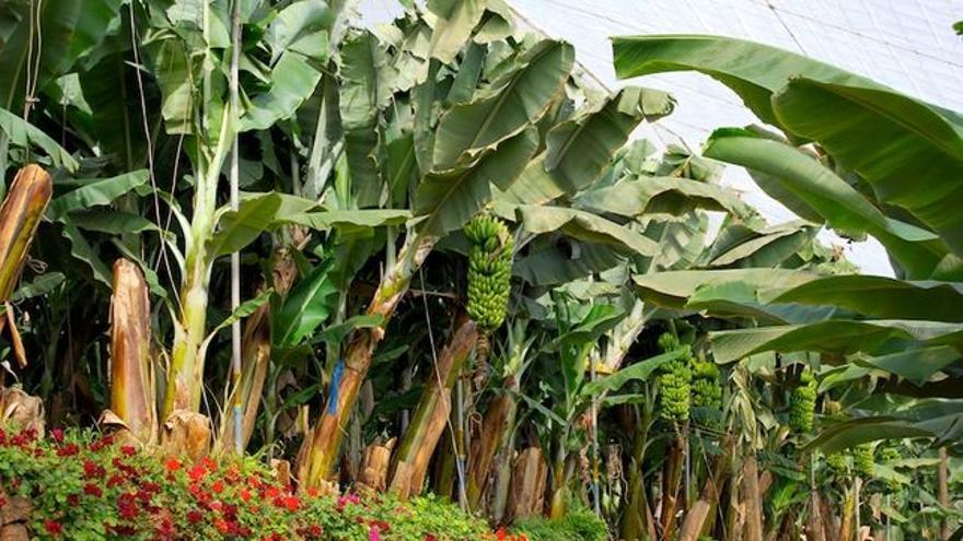 Finca canaria de plátanos, en una imagen de archivo