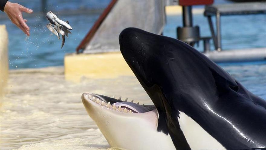 La orcas en cautividad sufren serios daños en la dentadura, según estudio