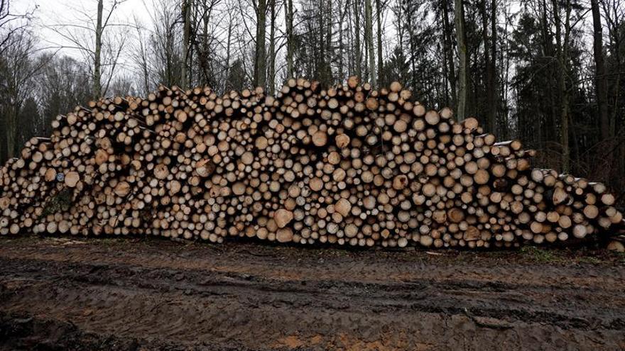 Polonia cumplirá la decisión del Tribunal Europeo sobre bosque Bialowieza