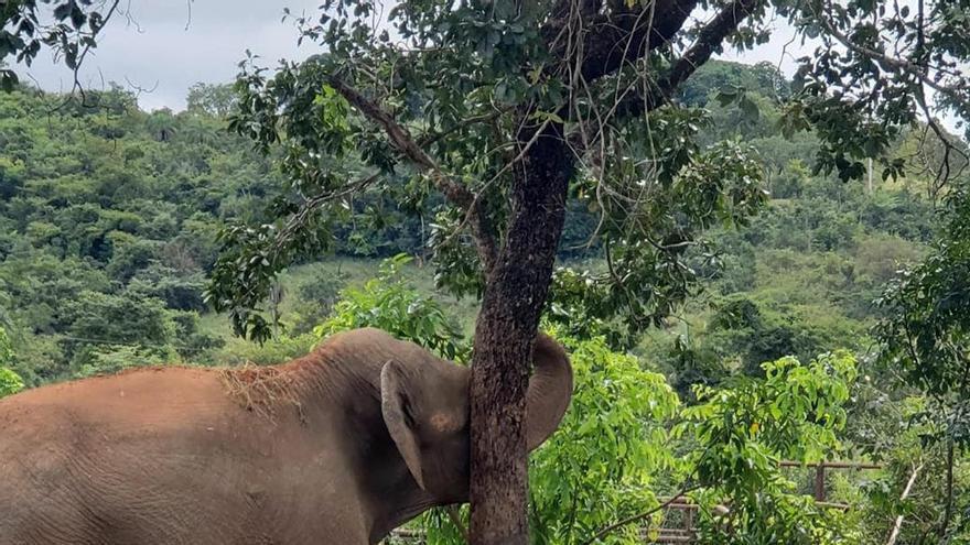 En sus 50 años de vida, Mara no había podido rascarse con un árbol, algo que los elefantes en libertad hacen habitualmente. Ella lo hizo en cuanto llegó al santuario