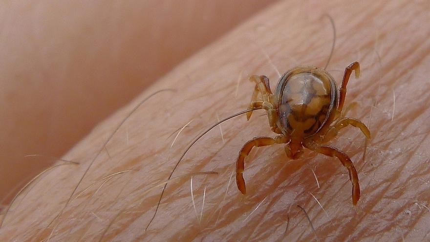Sanidad detecta en 4 CCAA, entre ellas C-LM, garrapatas con el virus que causa la fiebre hemorrágica de Crimea-Congo