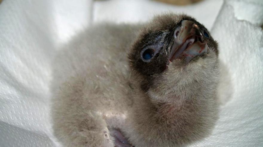 El programa de cría del quebrantahuesos registra un total definitivo de once puestas y siete nacimientos hasta ahora
