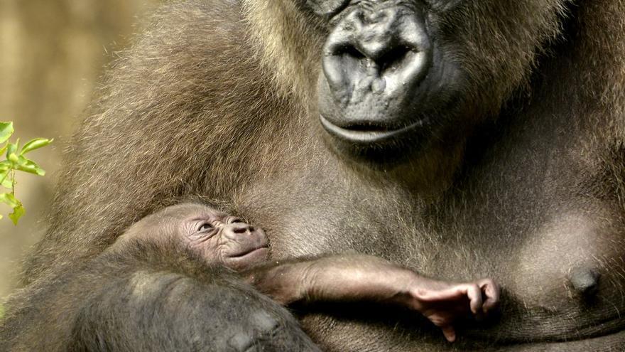 Una madre gorila con su bebé.