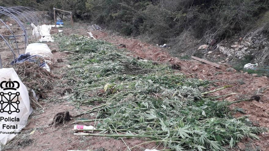 Plantación de marihuana localizada en el Valle de Allín