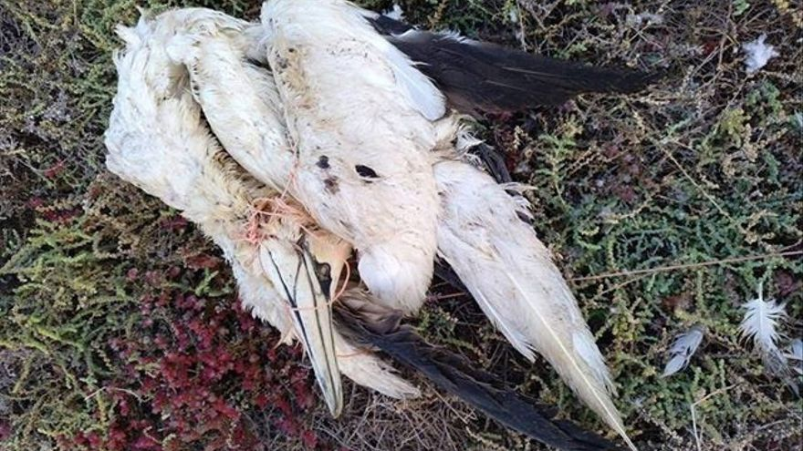 La pardela cenicienta, ave marina más amenazada en Canarias por la contaminación por plástico