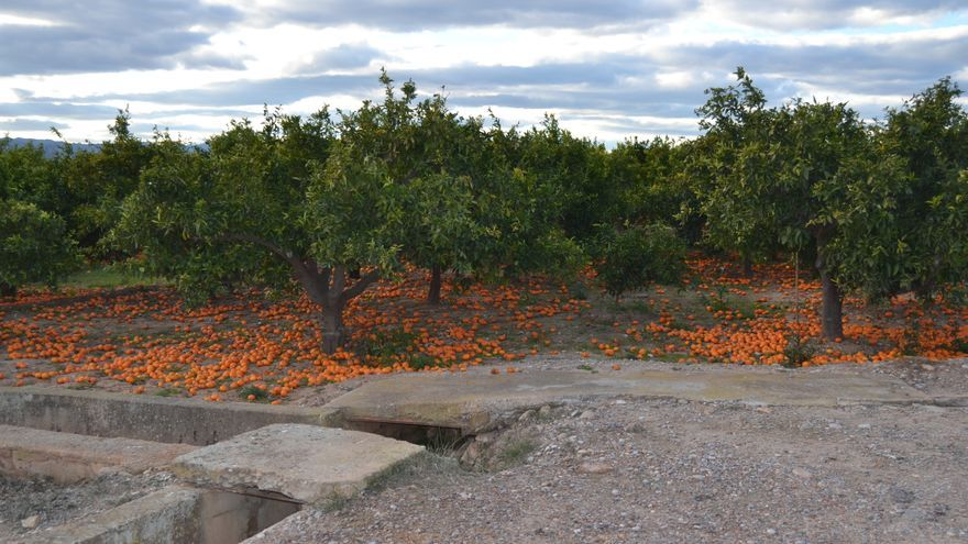 Huerto de naranjos en Burriana (Castellón).