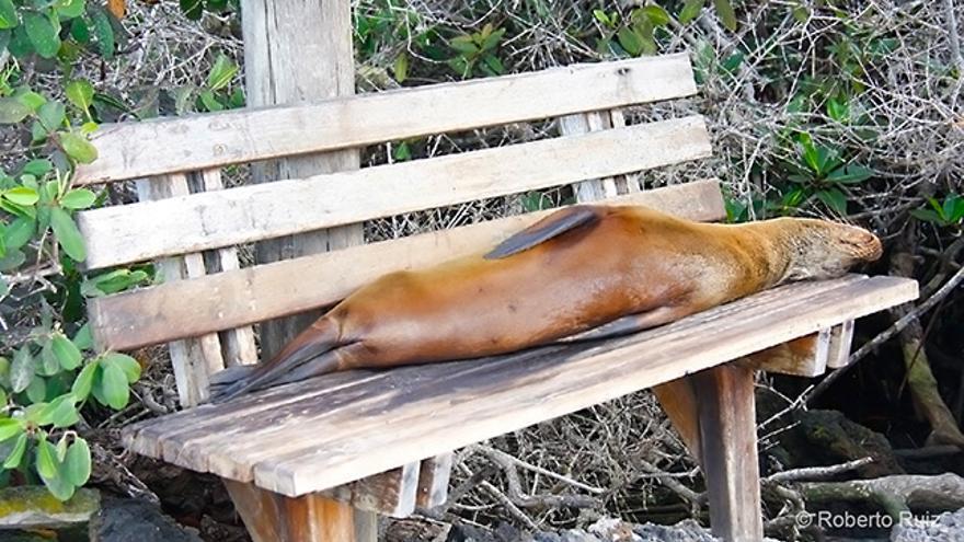 Los leones marinos viven a sus anchas en las islas, tanto en sus playas como en sus puertos.