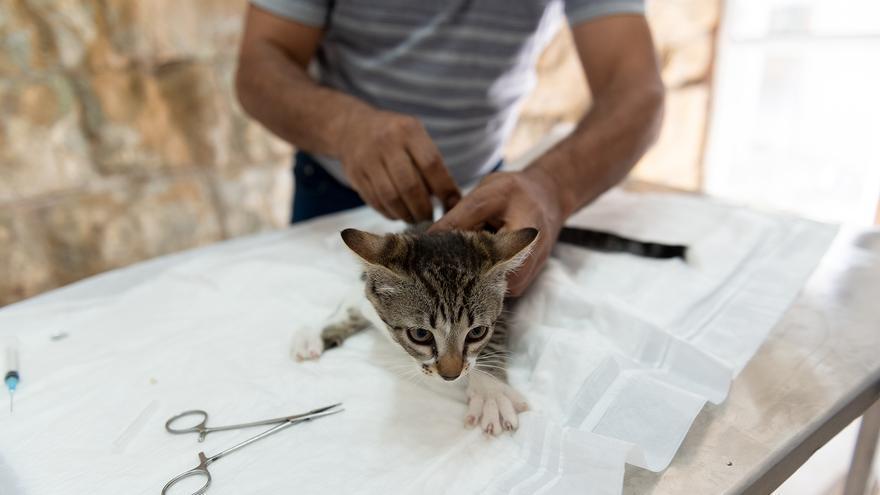 Gato siendo tratado por un veterinario