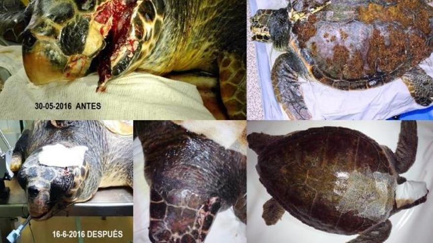 Antes y después de la tortuga José, herida gravemente en Almería