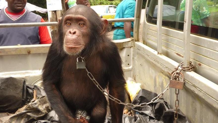 Gorila capturado para su explotación. Foto: Proyecto Gran Simio