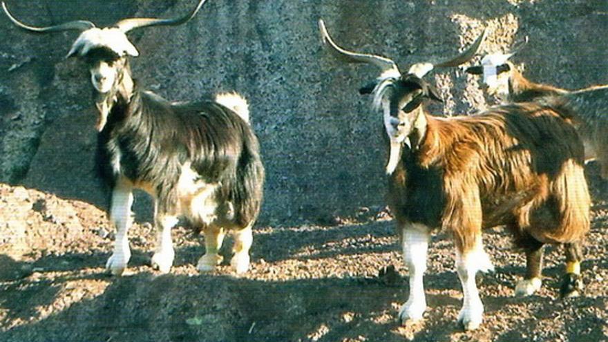 Ejemplares de cabra palmera