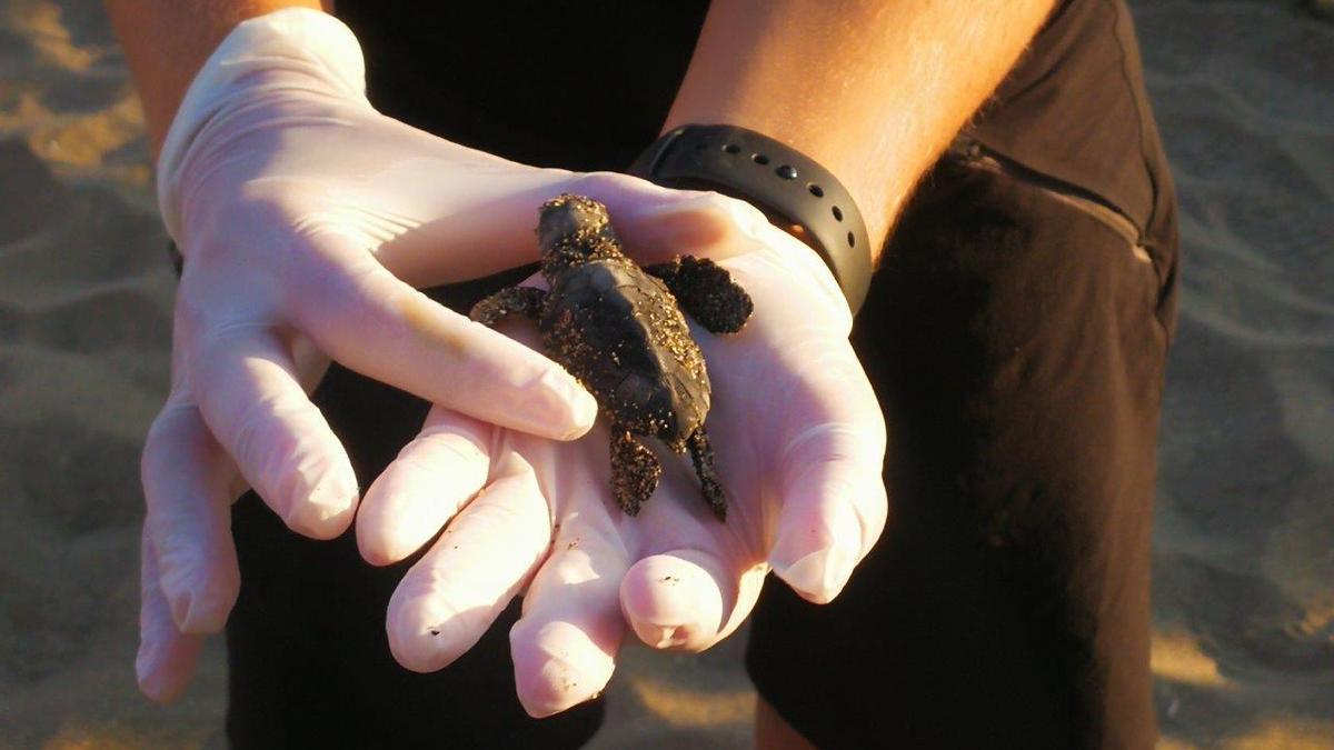 Tortuga Boba recién nacida en la Costa del Sol