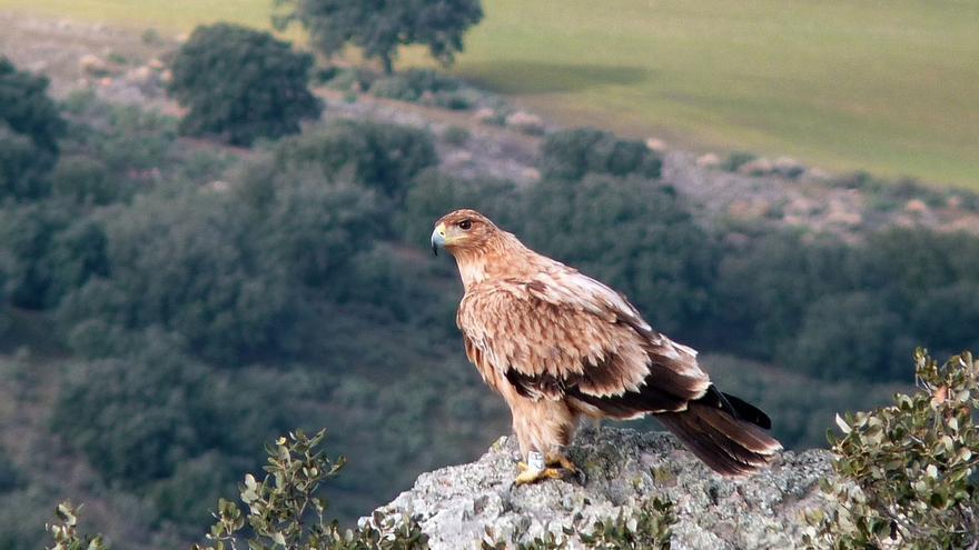 Ecologistas recalcan la necesidad de intensificar la conservación del águila imperial al aparecer tres muertas en Doñana