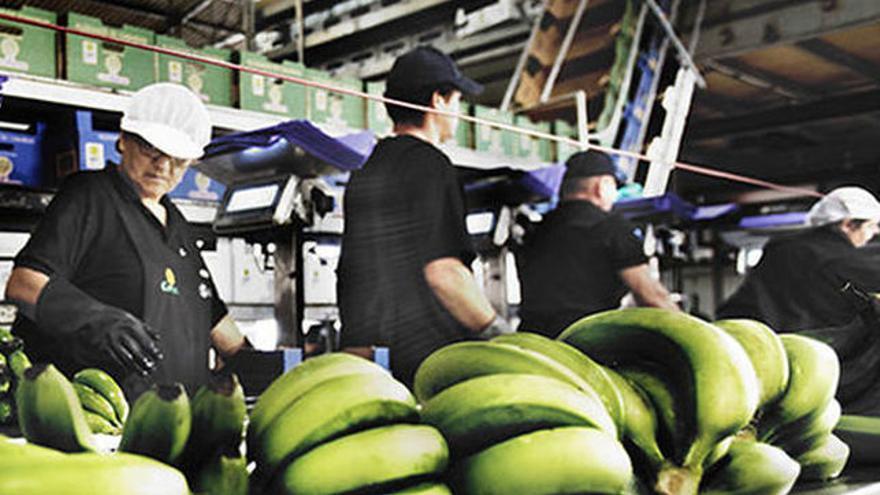 Empaquetado de plátanos de Canarias.