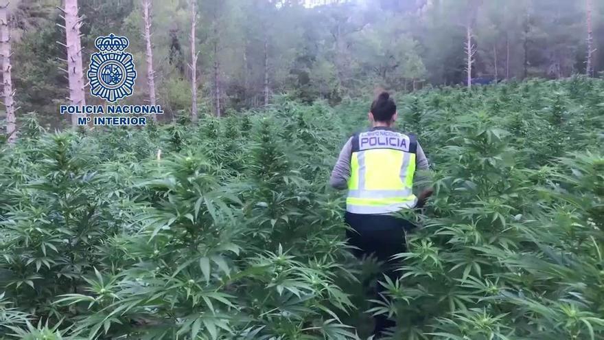 España, gran invernadero de marihuana: más de 25 toneladas y 3.695 detenidos