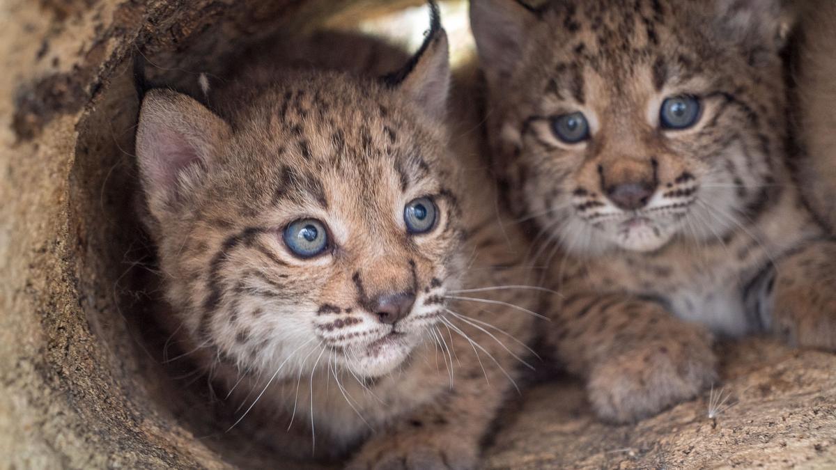 Crías de lince ibérico Lynx pardinus. / MITECO