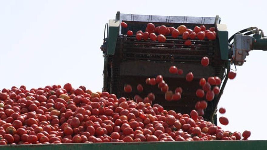 Cosechadora de tomate