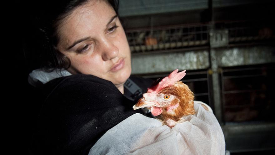 Rescate de tres gallinas en una granja, en abril de 2011 en Toledo. Foto: Igualdad Animal