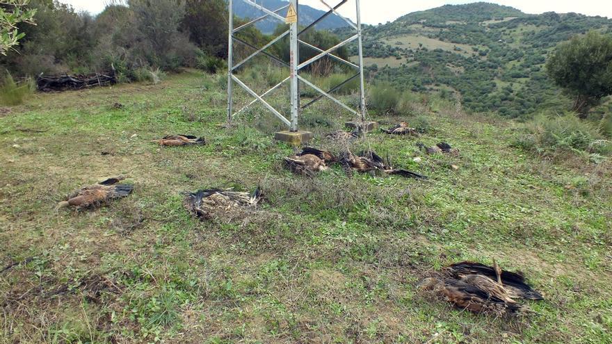 Encuentran diez buitres muertos bajo un poste de alta tensión en Casares