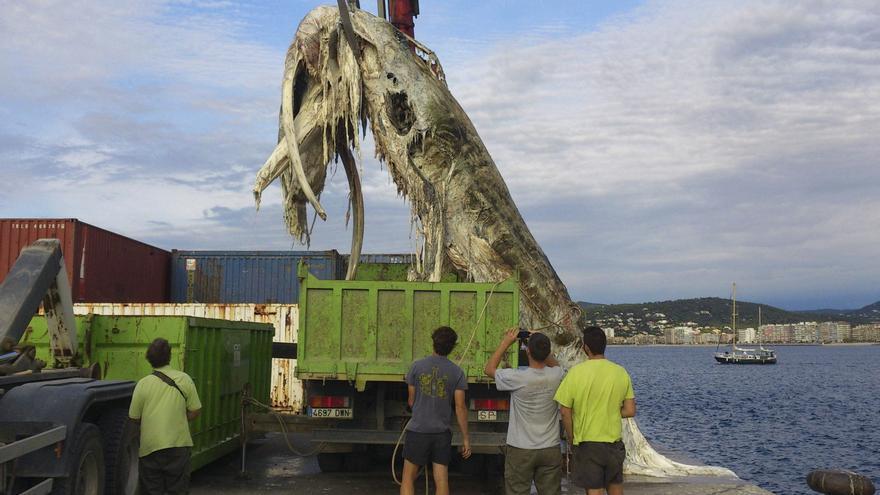 Retiran los restos de una ballena de unas 6 toneladas de la costa de Palamós