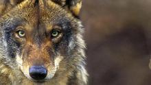 """Conservar una especie """"emblemática"""" que desaparece, objetivo del Voluntariado Nacional para el Censo del Lobo Ibérico"""