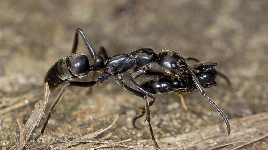 Las hormigas matabele socorren y tratan a sus semejantes heridas en batalla