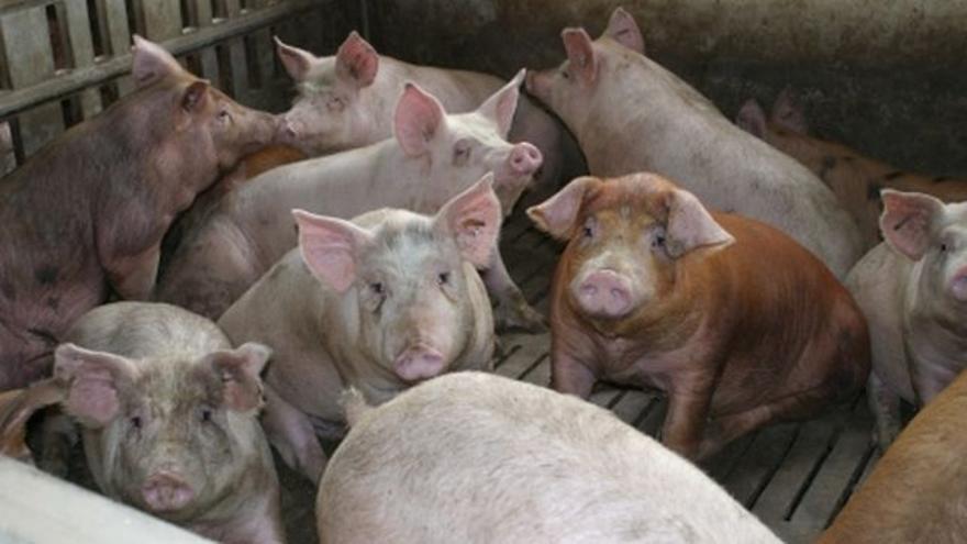 El sector porcino aragonés ya genera algo más de un tercio de la renta agraria de la comunidad