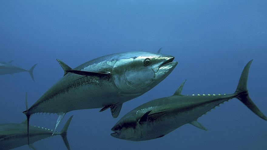Las cuotas de pesca de atún rojo suben hasta las 13.400 toneladas en los 2 próximos años