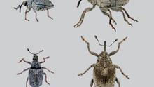 A) Paratipo (♂) de Ceutorhynchus castroi n. sp. (La Palma), (Foto: H. López). B) Paratipo (♂) de Ceutorhynchus paroliniae Krátký, 2016, (Gran Canaria), (Foto: P. E. Stüben). Habitus, (dor./lat.). Escala 2 mm.
