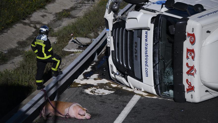 Accidente de un camión que transportaba cerdos en Madrid