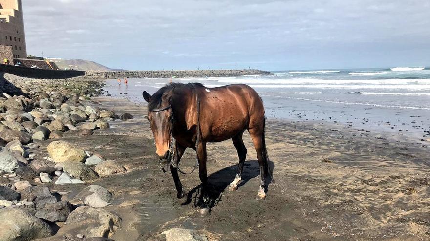 Encuentran un caballo en Las Canteras