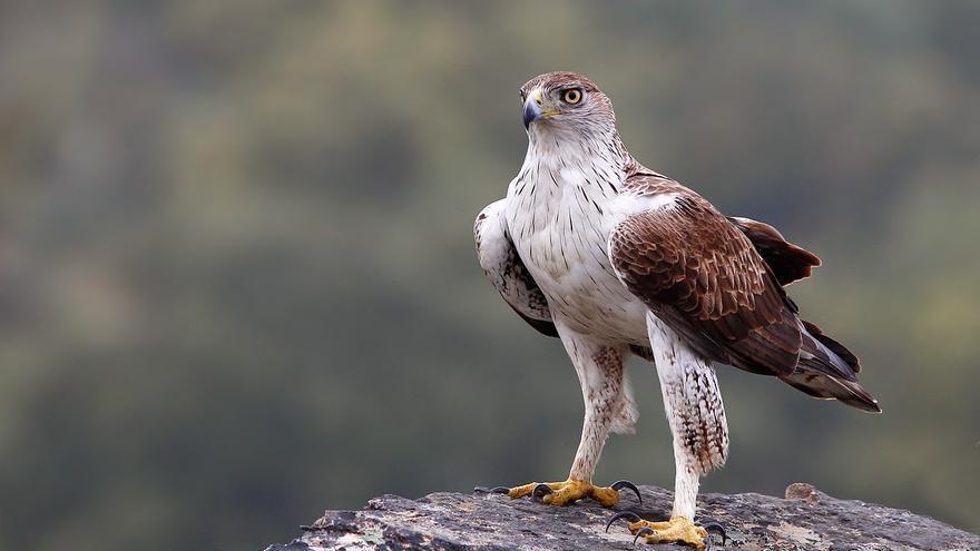El águila perdicera está catalogada como en peligro de extinción