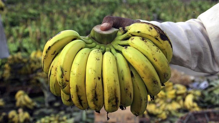 FAO: el manual para el empleo bananero en Ecuador puede adaptarse en otros países