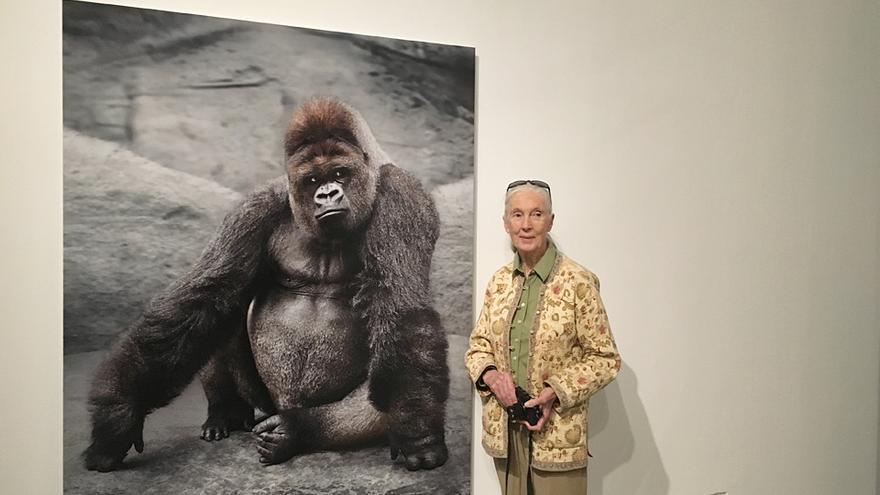 Jane Goodall junto a uno de los gorilas fotografiados por Amparo Garrido, en la exposición 'Animalista. Representación, Violencias y Respuestas', de Capital Animal.