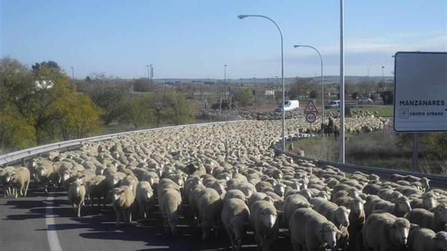 Ovejas cruzan por Manzanares (Ciudad Real) en la trashumancia / Foto: Europa Press